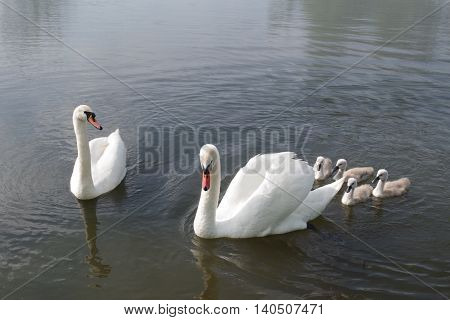 Swan and chicks swimming on the pond