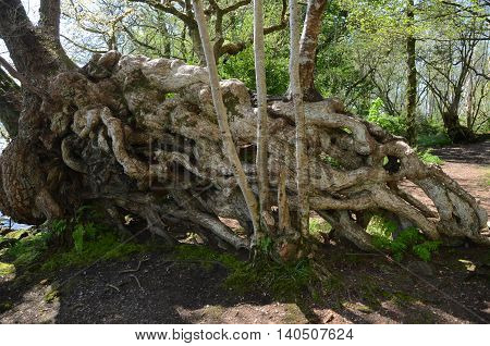 A large group of tangled tree roots on the island of Inchmahome