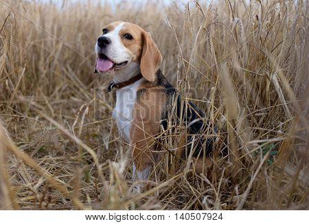 The Beagle dog sitting on a rye field