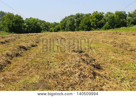 Mowed hay on the meadow. Agricultural landscape