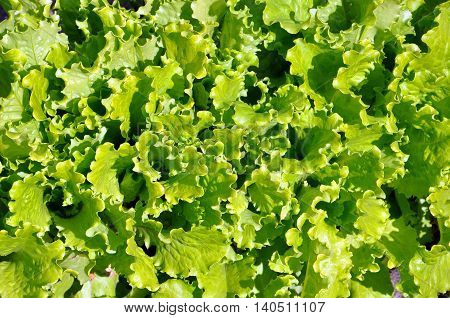 green salad growing in the garden for your design