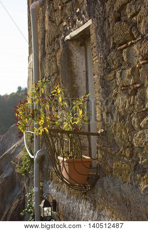Red chili pepper plant on a small balcony in a Medieval town in Italy