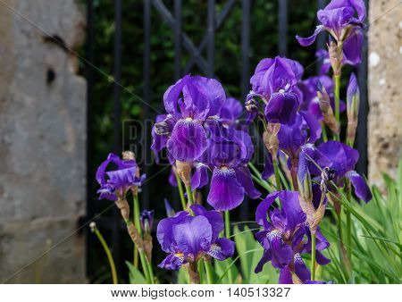Blooming irises against the backdrop of the garden fence, close-up