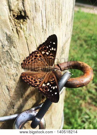 great spangled fritillary, Speyeria cybele on a wooden fence post