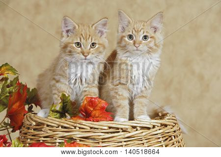 Two Kitten ginger tabby sitting together on basket