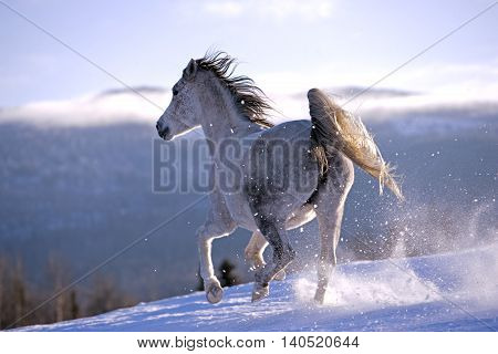 Arabian Mare galloping over meadow in snow