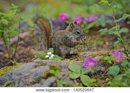 Red Squirrel sitting on forest ground feeding