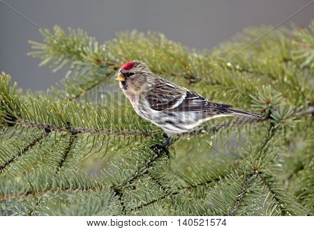 Hoary Redpoll perched in a spruce tree