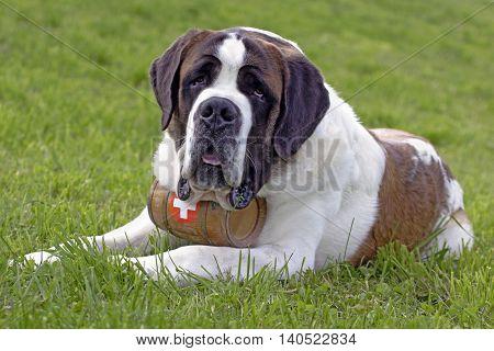 St. Bernards dog male on grass portrait
