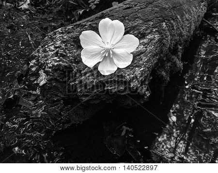 A beautiful flower, sitting atop a log over a flowing stream.