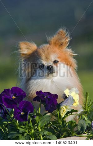 Pomeranian sitting in garden, watching from behind flowers