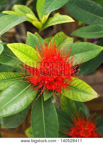 Red spike flower.Rubiaceae flower in the garden.