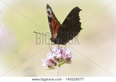 a peacock butterfly pollinating a purple flower