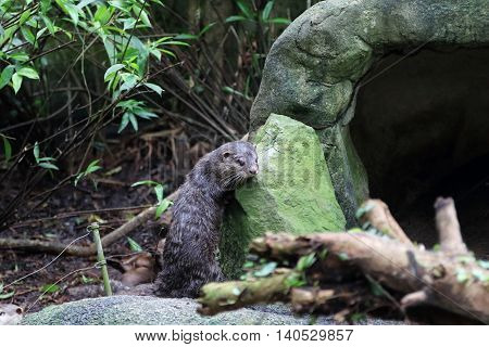 Asia Small Clawed otter scratching its body against a rock