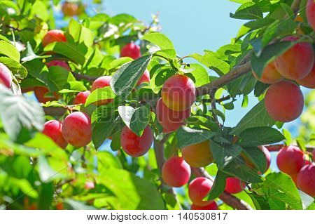 Delicious cherry- plums on the plum tree