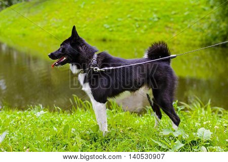 Laika dog for hunting wild fowl and animals, husky standing on meadow. Exhibition Stand dogs. Beautiful dog on a walk.