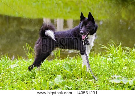 Laika is hunting dog for hunting wild fowl and animals. Husky dog standing on meadow. Exhibition Stand dogs. Beautiful dog on a walk.