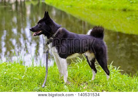 Russian - European Laika is a hunting dog for hunting wild fowl and animals. Husky dog standing on meadow. Exhibition Stand dogs. Beautiful dog on a walk.