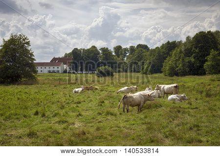 Cows on field in Skibet, Vejle Denmark