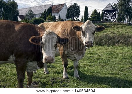 Two brown cows looking at you on an Danish farm at Skibet Vejle Denmark