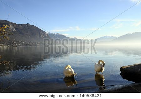 Swans On Annecy Lake In France