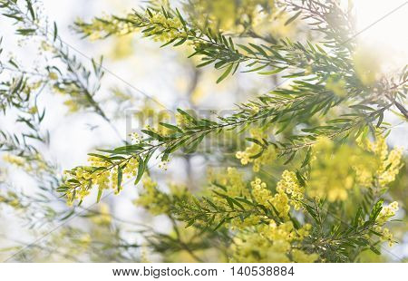 Early morning australian yellow wattle flowers in sunshine