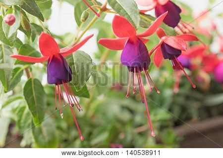 View of the group of colorful fuchsia flower