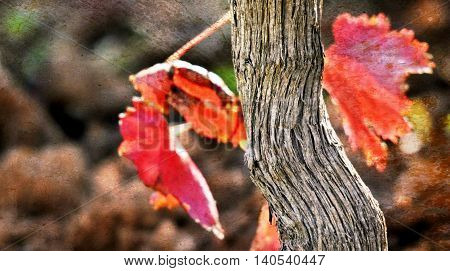 Close up of beautiful autumn red wine leaf