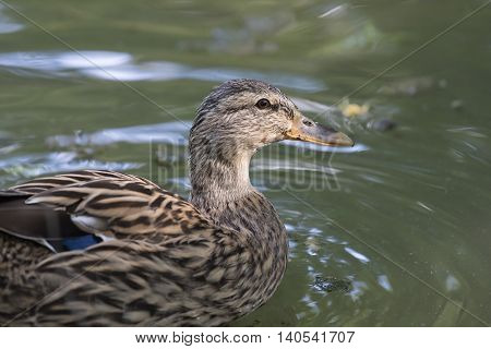 a brown duck anas castanea on lake