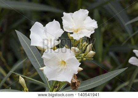 white oleander in the garden in spring
