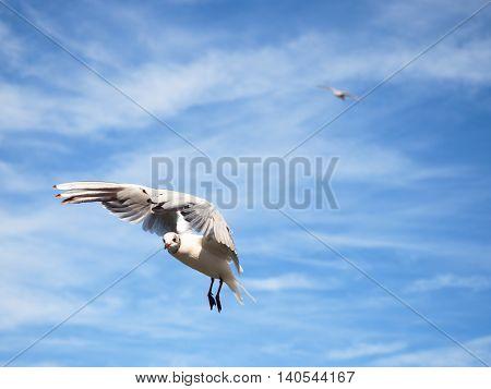 Sea Gull In Blue Sky. Wild Seagull Bird Flies. Blue Sky