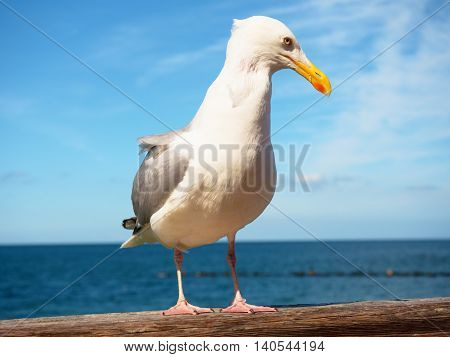 Close Seagull Stay On Wooden Handrail. Bird Looking Into Camera