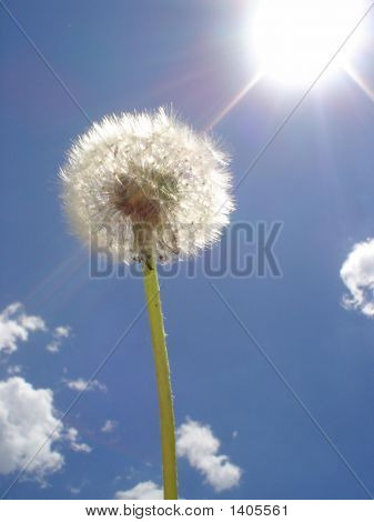 Dandelion Against Blue Sky & Sun