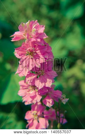 Close-up Of A Stem Full  Foxglove Flowers On  Bloom