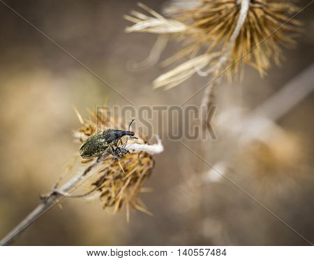 Larinus sturnus - Weevil Curculionidae beetle on a dry thistle in nature