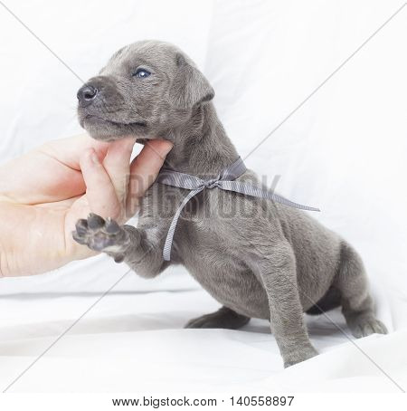 Purebred grey Great Dane that needs help holding its head up