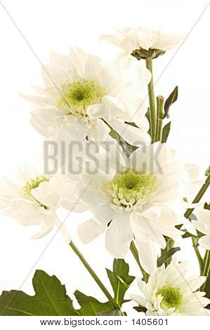 White Flowers Over White