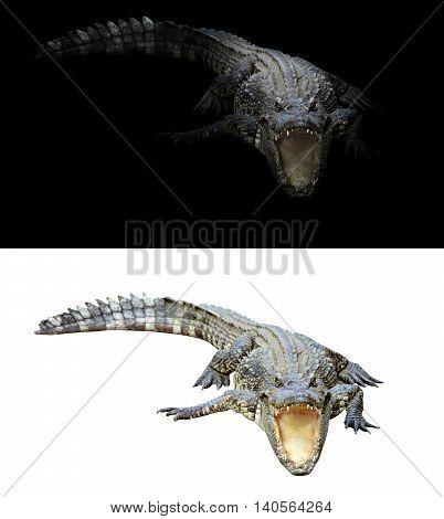 Crocodile On Dark And White Background