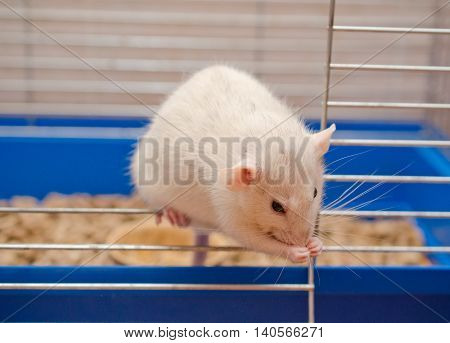 Cute white rat in a cage cleaning itself with its paws