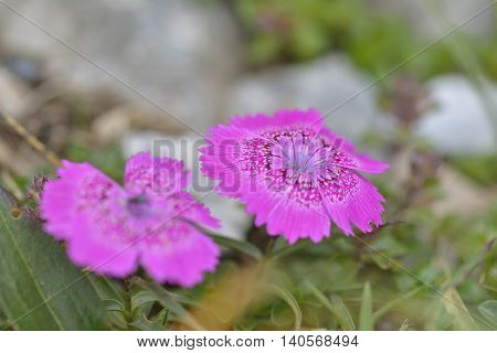 Endemic pink flower found only in Piatra Craiului mountains in romanian Carpathians