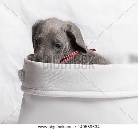 Great Dane puppy that is purebred with a gray coat in a basket
