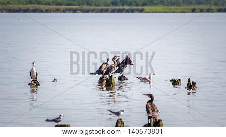 Cormorants and seagulls on lake Paleostomi Poti Georgia.