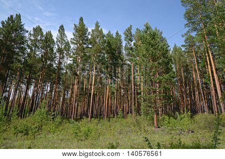 Rich pine forest. Nature of the foothill of East Sayan. Buryatia
