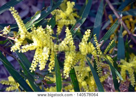 Yellow flowers of the Sydney Golden Wattle (Acacia longifolia) in the Royal National Park, New South Wales, Australia