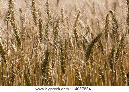 Macro photo wheat field. Spica barley bread