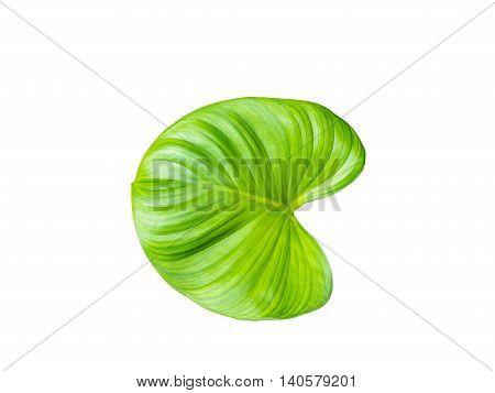 Closeup green water hyacinth leaf on white background