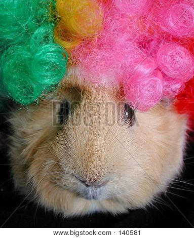 Guinea Pig With Clown Wig