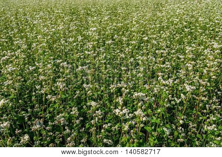 Beautiful floral agricultural natural background with white flowers of buckwheat in the field