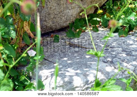 lizard sitting on a stone in nature during sunshine