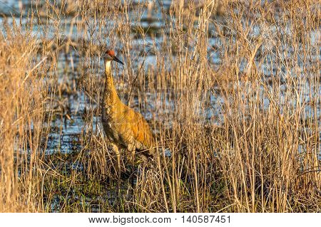 Sandhill Crane standing in a grassy wetland.